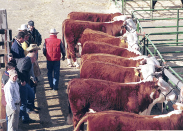 Cattle yards at National Western Stock Show